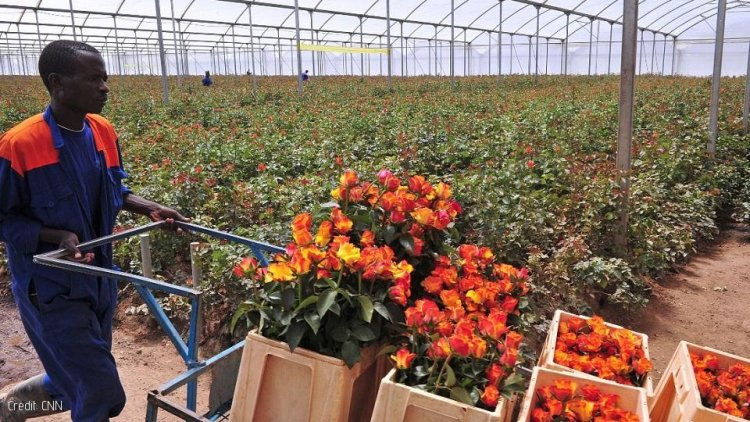 Chemicals Pose Great Risk to Workers in Kenya Flower Farms